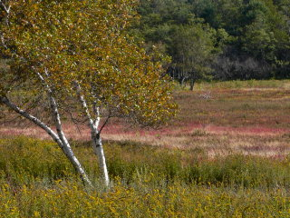 Birch tree in sun, magenta and lavender in background
