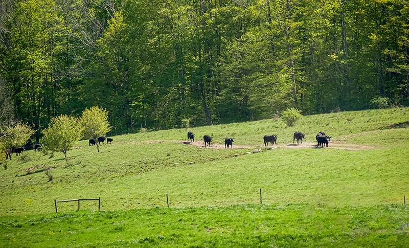 Black Angus cattle are going on a hike!